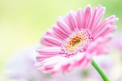 gerbera 8813 (junjiaoyama) Tags: japan flower gerbera plant pink winter