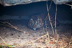 IMG_4183 (TvdMost) Tags: burgersrimba burgerszoo pantheratigrissumatrae sumatraansetijger sumatrantiger