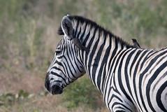 DSC_5150 (mylesm00re) Tags: africa buphaguserythrorhynchus burchellszebra equusquaggaburchellii limpopo redbilledoxpecker rooibekrenostervoel welgevondengamereserve za bird mhondorogamelodge sebra southafrica waterhole zebra