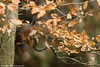 Can they see me????? (Louise Morris (looloobey)) Tags: aq7i2785 squirrel red scotland gordon nigel tree leaves autumn autumnal colours tones branches november2016
