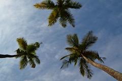 3 (kailas bhopi) Tags: coconut coconuttree nikond5100 1855mm malvan konkan konkanphotography bluesky sky 3 tree pointofview view flipout