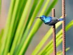 Purple Sunbird (male) (pinushooter) Tags: purple sunbird avian jalpaiguri india pinushooter nikon d7100 200500mm nikkor wildlife photography feather beautiful