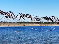 (h862213) Tags: 海边 海鸟 飞翔 飞翔的海鸟 海洋 海燕 outdoor sea ocean fly seaside seagulls bird birds oceanview water coast beach florida tarponsprings meeting party