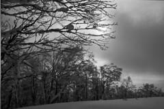 Woods of Kamui (threepinner) Tags: mountainsnaps mtkamui asahikawa fukagawa hokkaidou hokkaido northernjapan japan pentax mzm pentaxm 28mm f35 kodak microfilm imagelink hq selfdeveloped winter snow cloudy daytime 神居山 旭川 北海道 北日本 日本