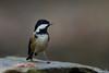 _F0A7641.jpg (Kico Lopez) Tags: carbonerogarrapinos galicia lugo miño parusater spain aves birds rio
