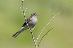 Tuquito Gris (Empidonomus aurantioatrocristatus) (Javier Chiavone) Tags: aves ceibas empidonomusaurantioatrocristatus entrerios tuquitogris argentina litoral