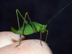 Speckled bush-cricket (Leptophyes punctatissima) (SteveInLeighton's Photos) Tags: bedfordshire beds england leightonbuzzard september 2015 insects orthoptera cricket leightonlinslade unitedkingdom gbr