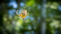 Koronás keresztespók (Araneus diadematus) (jetiahegyen) Tags: rovar börzsöny outdoor pók spider insect túra túrázás kirándulás tour hiking