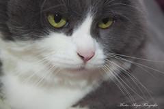 Posando la felina (martaalegre) Tags: felino gata mirada verde cat your eyes white fija bigote nariz ojos rosado pelaje gris blanca
