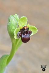 Ophrys Bombyliflora 1 (JuanMa-Zafra) Tags: orquídeas ophrys bombyliflora macro nikon 60mm 105mm tubos extensión difusor reflector flash d7100 zafra extremadura