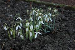 Ein früher Winterblüher... (julia_HalleFotoFan) Tags: galanthus hallesaale schneeglöckchen snowdrop galanthuselwesii grosblütigesschneeglöckchen botanischergartenhalle
