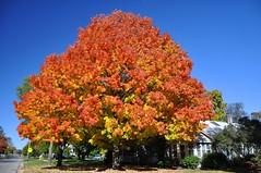 There Will Be Raking (cmu chem prof) Tags: mountpleasant isabellacounty michigan autumn fallcolor circularpolarizer mapletree bluesky