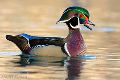 Wood Duck (Matt F.) Tags: woodduck duck bird canon500mmf4isii canon7dmarkii