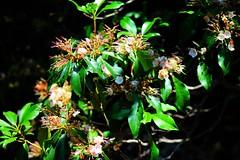 Wild (K H Bradley-Black) Tags: virginia rhododendron bloom mothernature naturesbeauty wildrhododendron canont5 june2015 canoneost5 hellwigmemorialpark backyardphotographer