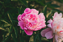 pretty pink peonies (Shandi-lee) Tags: pink flowers sunset sunlight white ontario canada flower green love nature floral beautiful june yellow festival composition photoshop garden ruffles outside outdoors photography evening petals spring interesting flora soft flickr natural bright gardening earth vibrant pastel pair peach naturallight peony depthoffield petal single bloom blossoming lovely sunlit delicate horticulture peonies 50mmf14 flowercloseup blooming lightroom oshawa flowergarden twoobjects naturallighting singleobject macroflower flickrflowers tumblr canoneos7d interestingflowers oshawavalleybotanicalgardens shandilee shandileee shandileecox instagram shandileephotography 155arenastreet 11thannualpeonyfestival