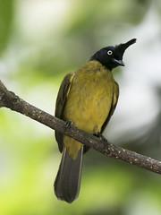 Black-crested bulbul (zingbean) Tags: bulbul flaviventris pycnonotus blackcrested