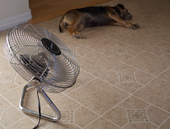 """It's too darn hot"" --Cole Porter (peter.a.klein (Boulanger-Croissant)) Tags: dog hot kitchen fan floor heatwave borderterrier"
