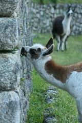 Peru-8660.jpg (Matt and Debbie) Tags: peru llama 2015 wayna winaywayna wiay