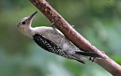 Baby Red-Bellied Woodpecker- Melanerpes carolinus (Bella Lisa) Tags: woodpecker melanerpescarolinus juvenileredbelliedwoodpecker babywoodpecker