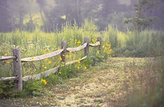 My Morning (DaveLawler) Tags: morning flowers trees field yellow fog fence nikon massachusetts d800