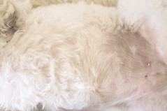 Skin - Hunny's tum, furry and not-so-furry (louisahennessysuɹoɥƃuıʞıʌ) Tags: family people fur furry skin terrier tummy poodle maltese hunny maltipoo susannahconway augustbreak2015