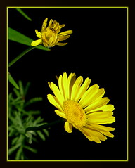 catchin' a ray (milomingo) Tags: flower nature yellow garden botanical blossom petal daisy bloom onblack lemonlime cmwd cmwdyellow