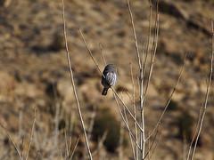 Profile (Cedar Mesa Hiker) Tags: northernpygmyowl bookcliffs