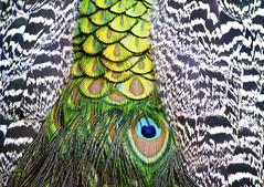 Plumage (Photato Jonez) Tags: peacock feathers plumage royal oak michigan detroit zoo animal bird animals alex day alexander birds