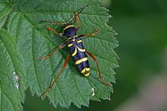 Clytus arietis - the Wasp Beetle (BugsAlive) Tags: beetle animal outdoor insect coleoptera macro nature cerambycidae clytusarietis waspbeetle cerambycinae wildlife warminster wiltshire liveinsects uk escarabajo scarabée scarafaggio käfer 甲虫 жук