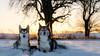 golden hour (d@neumi) Tags: hund dog hunde dogs siberian husky siberianhusky animal tier snow sunset sonnenuntergang bokeh lights golden hour landschaft natur himmel sky