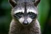 I see you! (jeff_a_goldberg) Tags: laquintadesarapiqui sarapiqui raccoon naturalhabitatadventures nathab winter costarica heredia cr