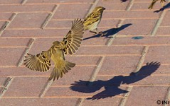 Housesparrow but shadow looks valcher (Inian4mIndia) Tags: housesparrow bird shadow beautiful ngc