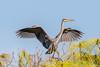 Great Blue Heron (Linda Martin Photography) Tags: morikamijapanesegardens birds greatblueheron ardeaherodias wildlife nature usa florida coth alittlebeauty naturethroughthelens ngc coth5