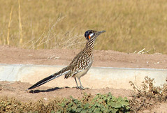 Greater Roadrunner (Geococcyx californianus) (Francisco Piedrahita) Tags: aves birds california greaterroadrunner geococcyxcalifornianus