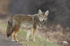 Coyote (PamsWildImages) Tags: coyote nature wildlife canada bc beautiful
