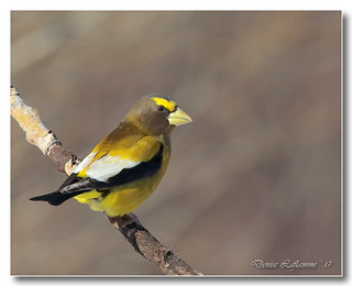 103A3678-DL-1.   Gros-bec errant / Evening Grosbeak.