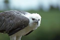 Fish eagle display (SteveInLeighton's Photos) Tags: transparency england gloucestershire agfachrome 1981 may newent falconry eagle