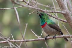 Southern Double-collared Sunbird (Lutz Dürselen) Tags: ibc südafrika vogel bird