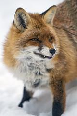 Vixen in the snow... (Tambako the Jaguar) Tags: portrait semiprofile standing posing cute fox redfox female vixen snow winter cold arth goldau tierpark zoo switzerland nikon d5