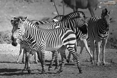 Hartmann mountain zebras (dieLeuchtturms) Tags: 3x2 africa afrika bergzebra equidae equuszebra equuszebrahartmannae etoshanationalpark hartmannbergzebra namibia perissodactyla pferde säugetiere unpaarhufer vertebrata vertebrates wirbeltiere mammals monochrome mountainzebra omusatiregion renostervlei