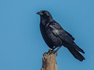 Corneille d'Amérique / American Crow [Corvus brachyrhynchos]