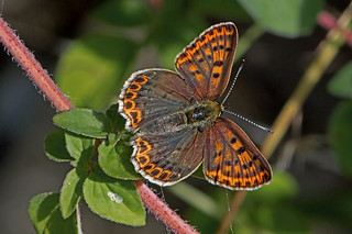 Lycaena tityrus - the Sooty Copper (female)