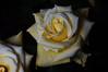 DSC_4225 Roses (PeaTJay) Tags: nikond750 reading lowerearley berkshire macro micro closeups gardens indoors nature flora fauna plants flowers bouquetofroses rose roses rosebuds