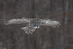 Chouette Lapone / Great Gray Owl (Roy Yves) Tags: greatgrayowl chouettelapone yvesroy lapone