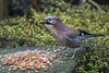 DSC_5336 Jay.  Just one more nut should do it (Rattyman76) Tags: peanuts corvid jay feeding beakfull cropfull