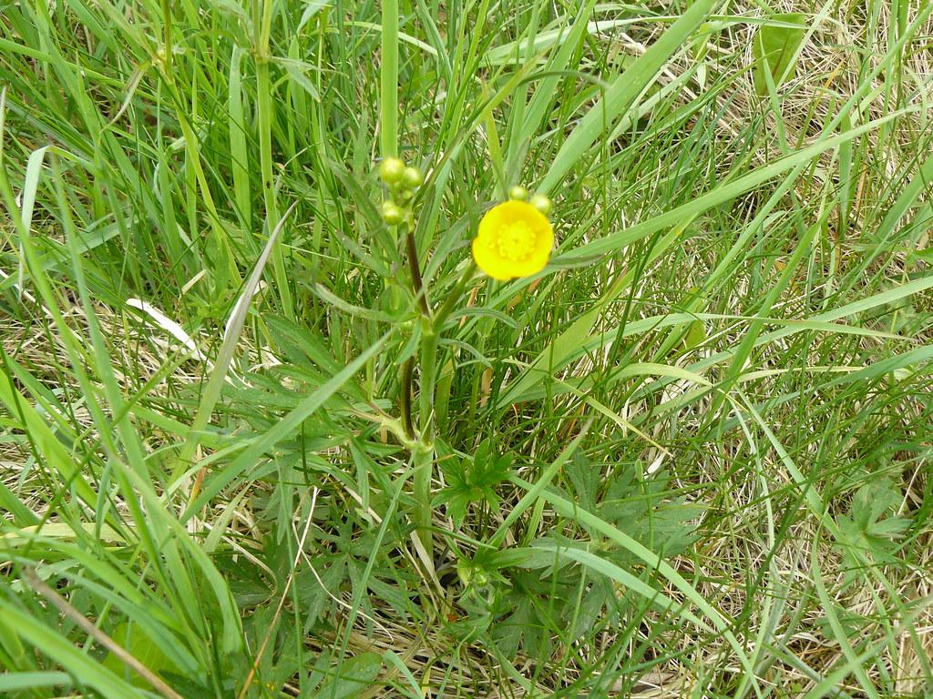 Ranunculus auricomus-1