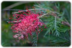 Grevillea 'Robin Gordon' (Craig Jewell Photography) Tags: australia flora flower green grevillea pink robingordon sydney ¹⁄₆₀sec f40 0ev canoneos30d iso400 20100130102051mg4957cr2 craigjewell