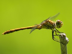 Sympetrum striolatum ♂ (fturmog) Tags: fauna odonats odonátos odonata libélulas libèl·lules dragonflies alòsdebalaguer