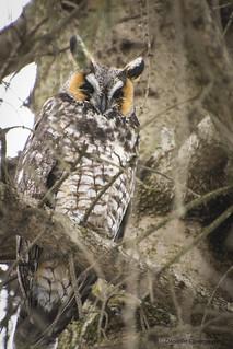 Hibou Moyen Duc - Long eared Owl   DSC_8613w