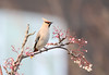 Waxing (aaron19882010) Tags: waxing bird european visitor eating our berries fruit nature wildlife outdoors outside too cold frost pink red yellow brown white crest quiff branch tree canon 750d sigma 150mm600mm